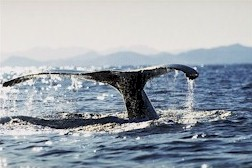 A playful visiting humpback whale.